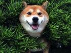 Пес породы сиба-ину застрял в кустах и очаровал улыбкой - ФОТОСЕССИЯ: Фоторепортажи
