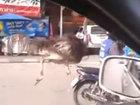 Страус шокировал водителей на оживленной трассе в Таиланде - ВИДЕО: Видеоновости