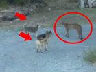 Овчарка и сибирский хаски против большой кошки - ВИДЕО : Видеоновости