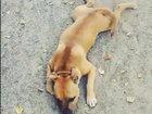Буксующая собака - ВИДЕО: Видеоновости