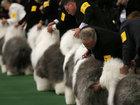 В Нью-Йорке выбрали лучшую собаку - ФОТОСЕССИЯ: Фоторепортажи