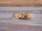 Крокодил vs львы: сумасшедшая битва диких животных - ФОТО - ВИДЕО: Фоторепортажи