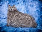 Толстый кот Король Лев: миссия - похудеть - ФОТОСЕССИЯ: Фоторепортажи