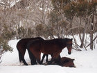 В Австралии появились лошади-каннибалы - ФОТО: Фоторепортажи