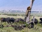 Посрамленный царь зверей - ФОТОСЕССИЯ: Фоторепортажи