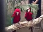 Забавные попугайчики отрываются по полной - ВИДЕО: Видеоновости