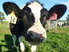 Корова-танцор зажигает под Майкла Джексона - ВИДЕО: Видеоновости