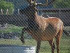 Смотрители зоопарка не могли понять, что пытается делать этот олень, но потом... - ФОТО: Фоторепортажи