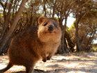 Квокка - самое счастливое животное в мире - ФОТОСЕССИЯ: Фоторепортажи