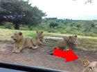 Вот почему нельзя подойти к львам даже в машине - ВИДЕО: Видеоновости