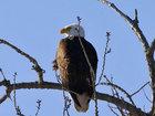 Гордость Америки: Белоголовые орланы штата Нью-Йорк - ФОТОСЕССИЯ: Фоторепортажи