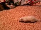Жуткое нападение крысы - ВИДЕО: Видеоновости