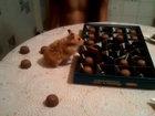 Хозяйственный хомяк собирает конфеты в коробку - ВИДЕО: Видеоновости