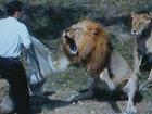 Реальные кадры: лев нападает на охотников - ВИДЕО: Видеоновости