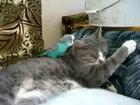 Попугай терроризирует кота - ВИДЕО: Видеоновости