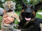 Тигренка, от которого отказалась мать, растят собаки - ФОТОСЕССИЯ: Фоторепортажи