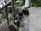 Очень упрямая птичка - ВИДЕО: Видеоновости