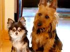 Собака сваливает вину на свою подружку - ВИДЕО: Видеоновости