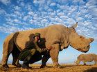 Последний носорог на планете - ФОТОСЕССИЯ: Фоторепортажи