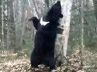 Танцы медведя с деревом - ВИДЕО: Видеоновости
