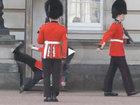 Часовой у Букингемского дворца упал перед толпой туристов - ВИДЕО : Видеоновости