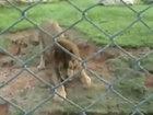 Царь зверей познал вкус свободы спустя 13 лет - ВИДЕО: Видеоновости