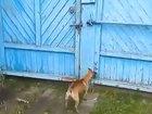 Собаки радуются возвращению хозяина - ВИДЕО: Видеоновости