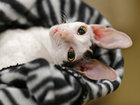 Самый крупный смотр кошек в США - ФОТО: Фоторепортажи