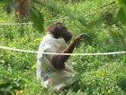 """Самка орангутанга из зоопарка сама сделала себе """"платье"""" - ФОТОСЕССИЯ: Фоторепортажи"""