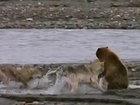 Медведь-гризли и 4 волка делят добычу - ВИДЕО: Видеоновости