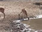 Антилопа чудом спаслась от крокодила - ВИДЕО: Видеоновости