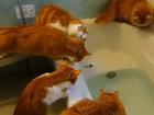 Вот как маленькая рыбка спугнула голодных котов - ВИДЕО: Видеоновости