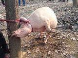 В Китае свинья съела двухлетнего ребенка - ФОТО: Это интересно