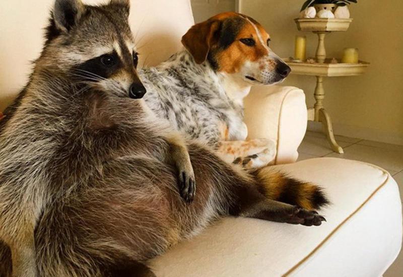 "Енот думает, что он собака <span class=""color_red"">- ФОТО</span>"
