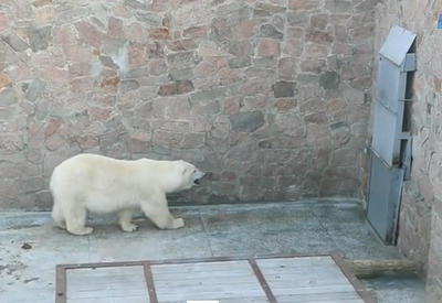 "Медведь сходит с ума в зоопарке <span class=""color_red"">- ВИДЕО</span>"