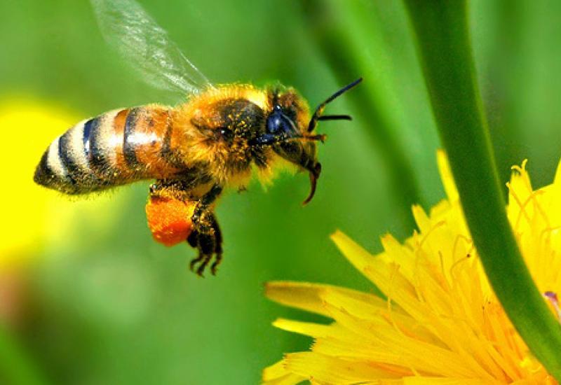 Пчелы приносят мировой экономике больше $150 млрд