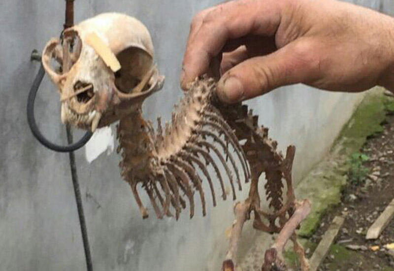 """Azərbaycanda qəribə heyvan skeleti tapılıb <span class=""""color_red"""">- FOTO</span>"""