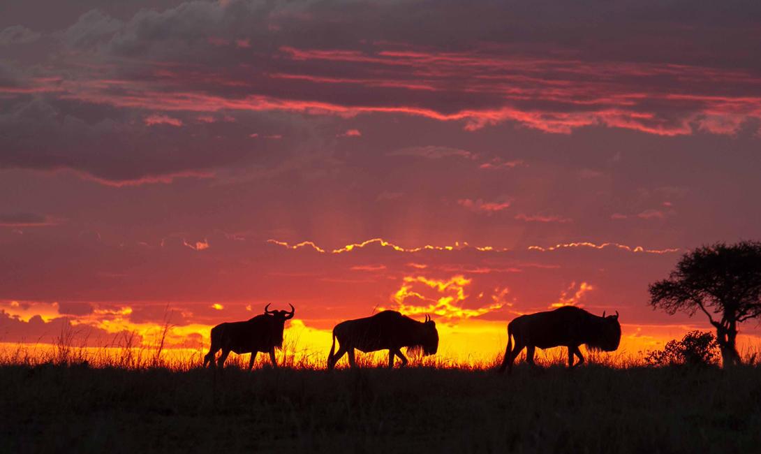 Blue Wildebeests at Sunrise, Masai Mara, Kenya  № 1443647 без смс