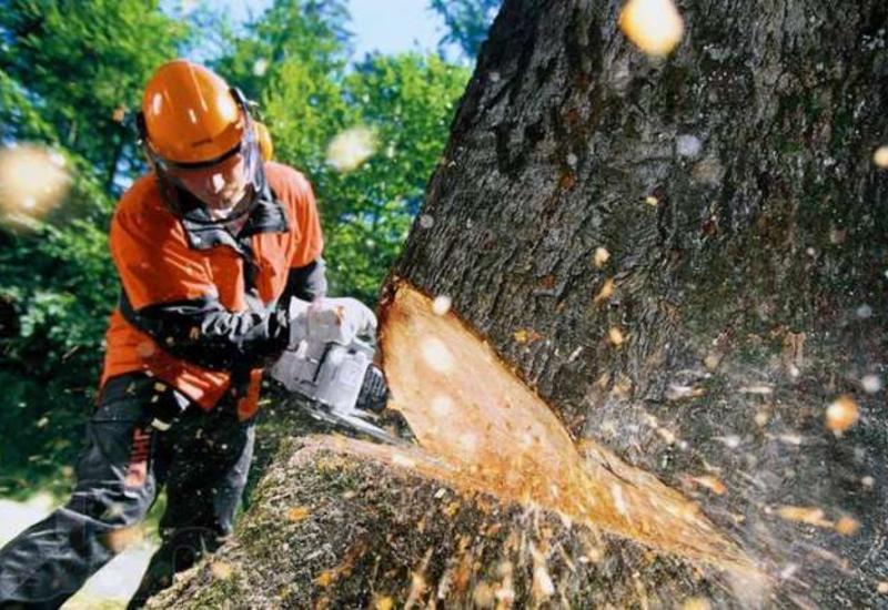 """За вырубку деревьев будут наказывать еще жестче <span class=""""color_red"""">- ПОДРОБНОСТИ</span>"""