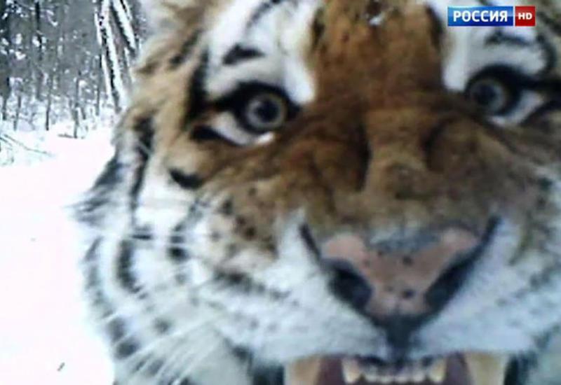 В Воронеже поймали гулявшего на автотрассе тигра