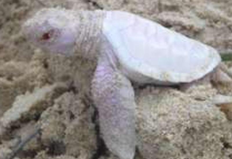 В Австралии нашли редчайшую белую черепаху
