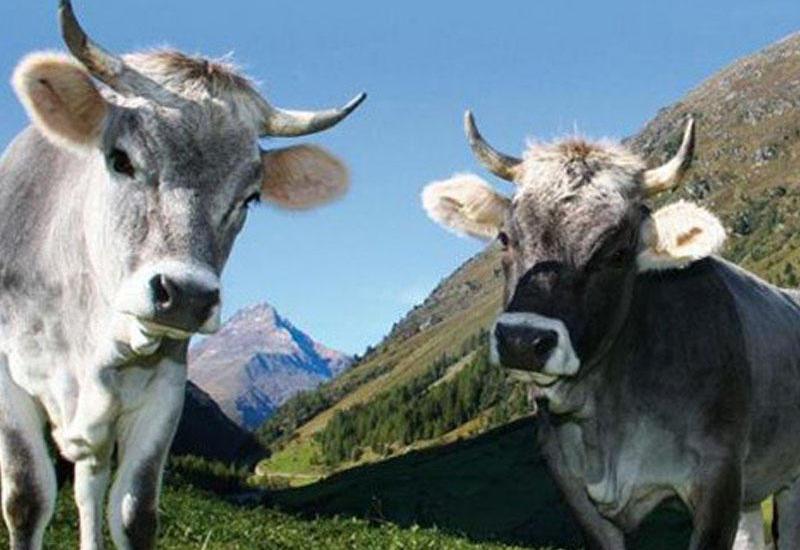 Азербайджан не будет ввозить скот из Грузии