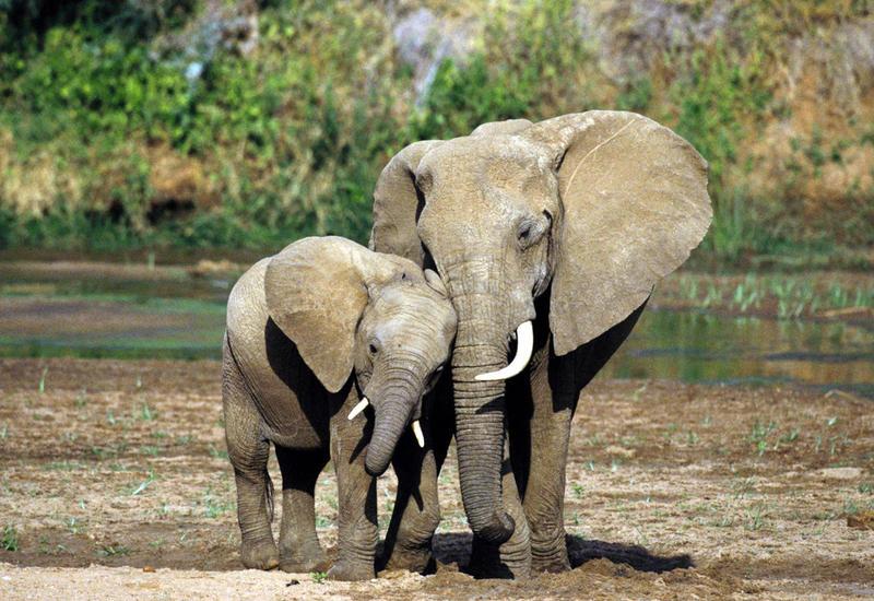 В Китае дикая слониха затоптала 15 автомобилей
