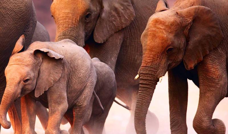 Слоновье безумиеЛес Чандка страдал от засухи весь 1972 год. Жара и полное отсутствие воды свело местных слонов с ума: они ринулись на ближайшую деревню и растоптали 25 человек. Еще пять деревень были спешно эвакуированы.