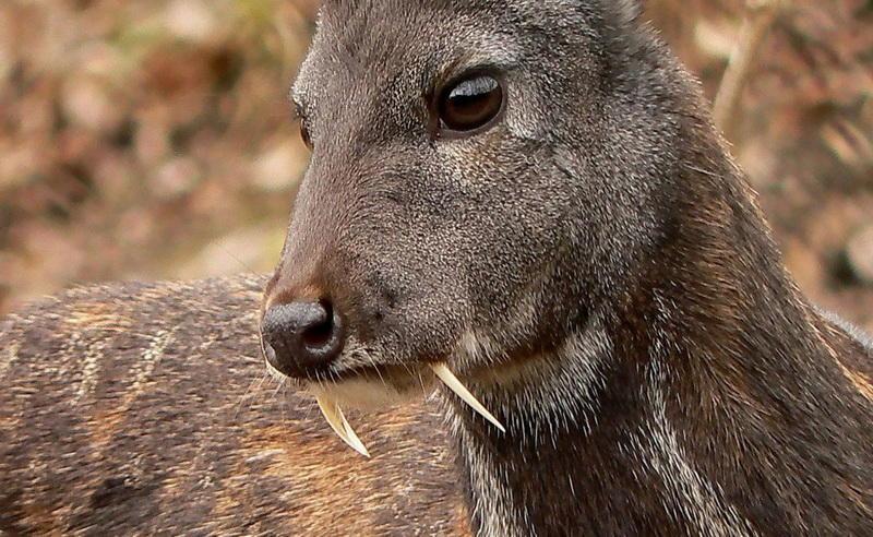 Вампир-олень
