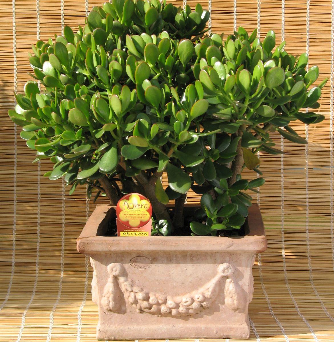 Обрезка денежного дерева в домашних условиях фото