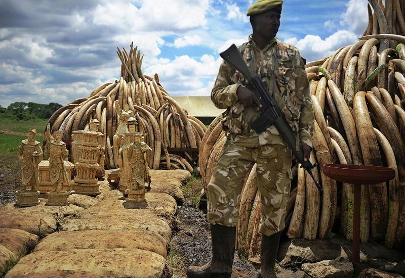 """Кладбище бивней: в Кении сожгли самое большое количество слоновой кости в истории <span class=""""color_red"""">- ФОТО</span>"""