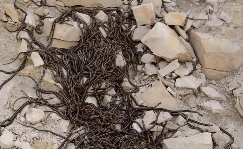 Весна пробуждает логово. Змеи, скользя друг по другу, выбираются на поверхность, образуя настоящий (и ужасный!) ковер.