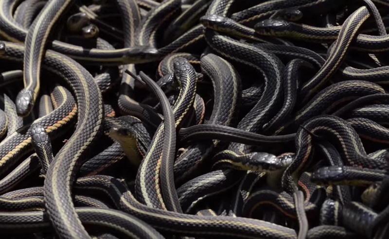 Калифорнийская краснобокая змея, или подвязочная змея, отличается весьма необычным внешним видом. В течение зимы, когда температура опускается ниже точки замерзания, они впадают в спячку на целых восьмь месяцев.