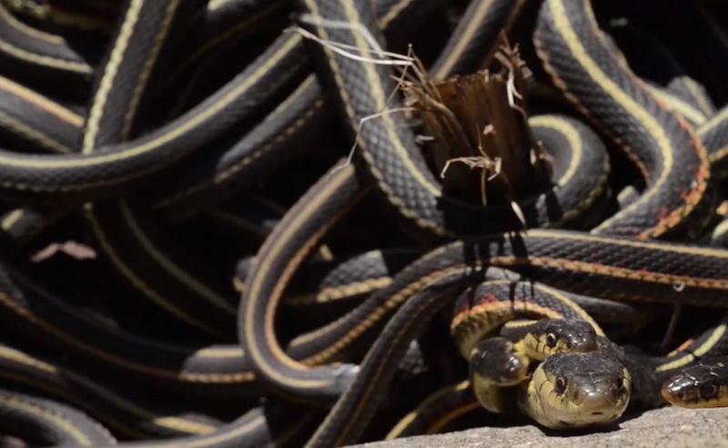 Представьте себе конкуренцию! Сотни змей, соблазненных феромонами, ластятся к единственной самке. Воздух полон неслышным шипением